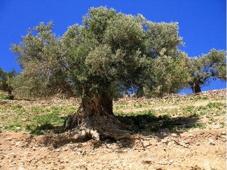 pohon-gharqad_01